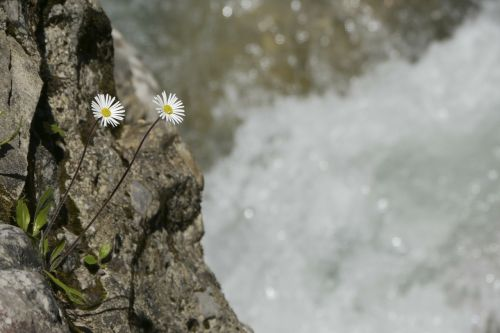 flowers mountain flowers bach
