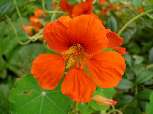 flowers nasturtiums orange