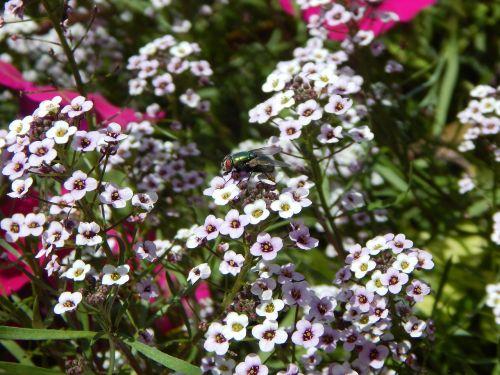 gėlės,skristi,vabzdys,sodas,gamta,vasara,žiedlapiai,sodininkystė,natūralus,botanikos,rožinis