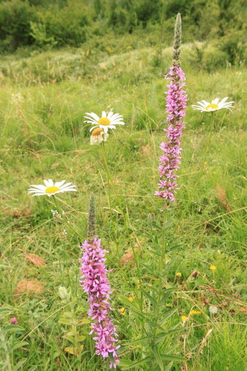 flowers herbs loosestrife