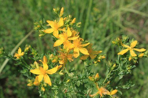 flowers herbal hypericum
