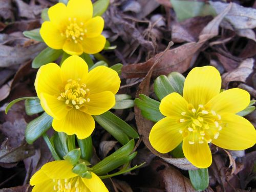 flowers eranthis herald of spring