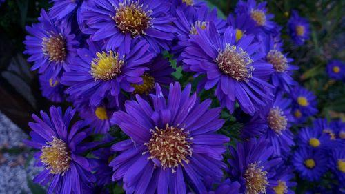 asters autumn bouquet
