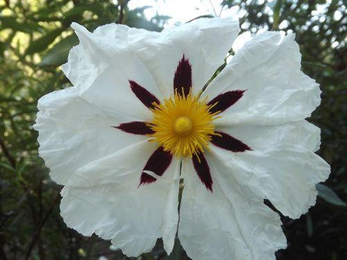 cistus white jara flowers