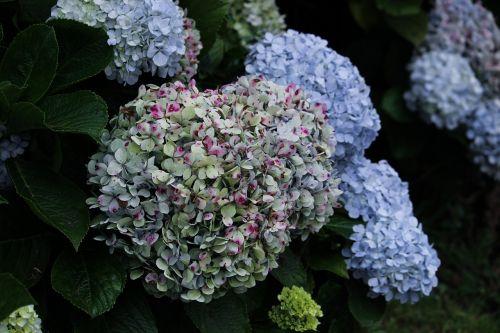 hydrangea flowers nature