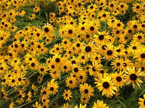 flowers field of flowers yellow flowers