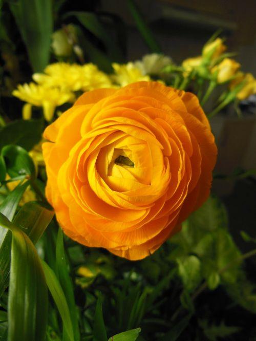 gėlės,ranunculus,oranžinė ranunculus,gėlė,šilta spalva,oranžinė,gėlių puokštė,augalai,gamta,elegantiškas,gražus,laiminga spalva,žalias,Iš arti