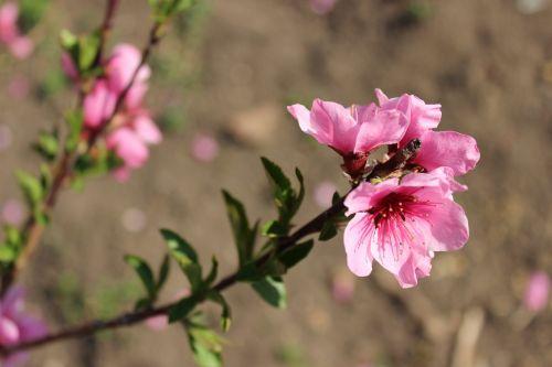 flowers flowering trees flowering tree