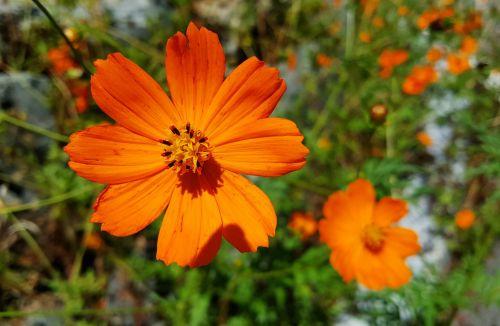 flowers cosmos flower garden