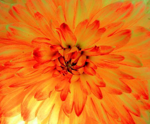 flowers orange plant