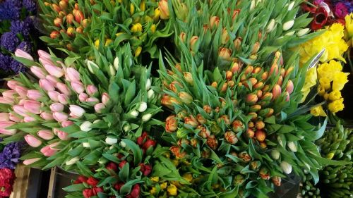flowers tulips plants