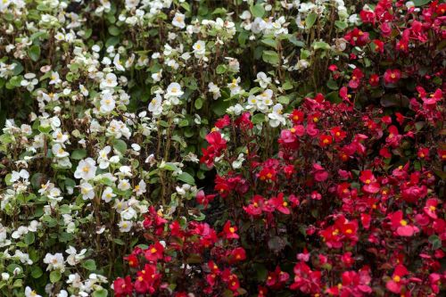 flowers white red