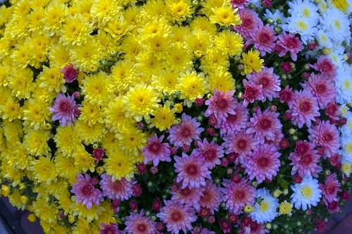 flowers at madison market  mums  flowers