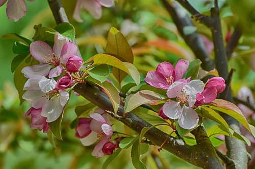 flowers blooming  apple flowers  crab apple