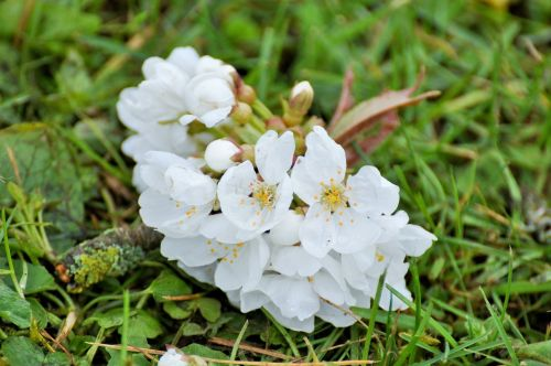 flowers cherry flowers white flowers
