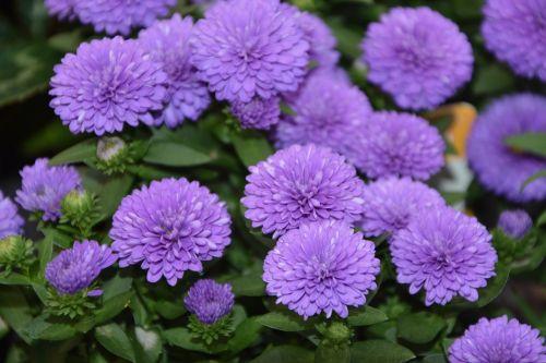 flowers color violet massif