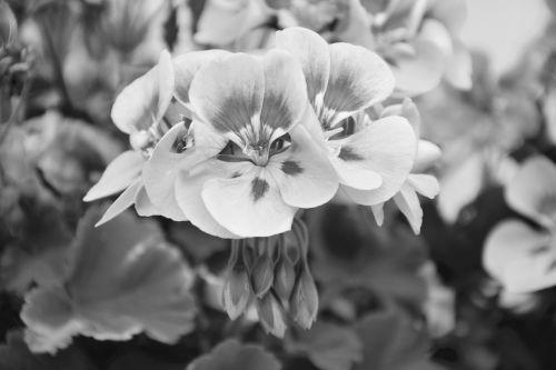flowers geranium photo black white jardiniere