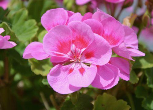 flowers geranium pink jardiniere pot