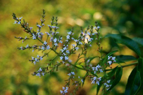 Flowers Of Lemon Verbena