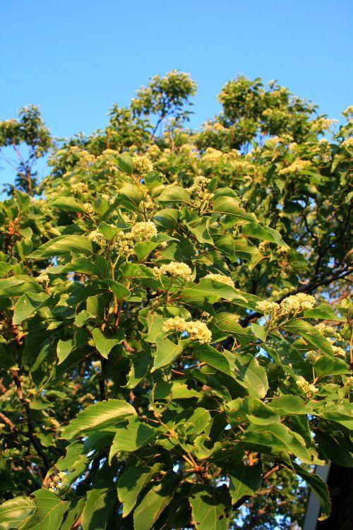 Flowers On Japanese Raisin Tree