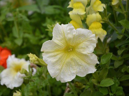 flowers petunia summer flowers perfume