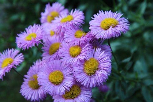flowers purple  flowering  plants flowering