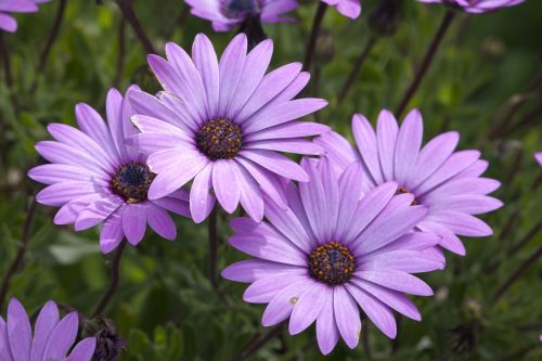 Flowers, Purple Daisy