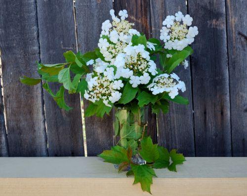 Flowers Viburnum