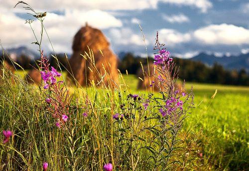 flowers wildflowers haymaking harvest