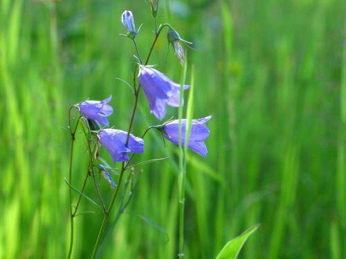 flowers wildflowers grass violet