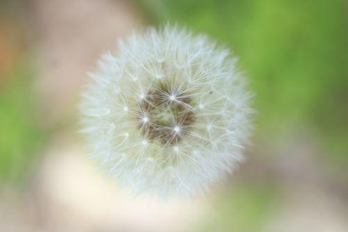 fluff dandelion dandelion fluff