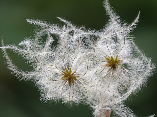 fluffy  seeds  clematis