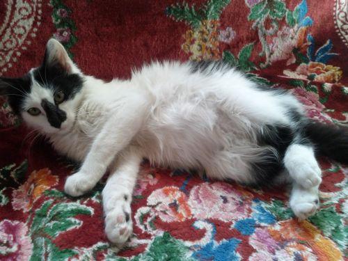Fluffy Cat Belly