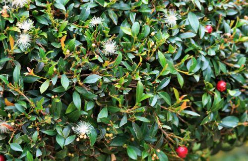 Fluffy Flowers Of Syzygium