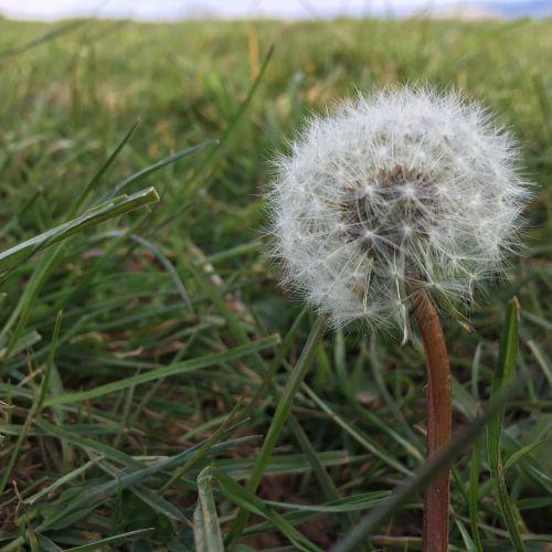 fluffy seeds flower fluffy