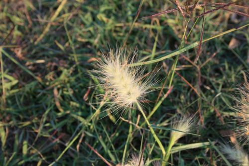 žolė, kuokštelės, sėkla, gėlė, balta, purus, purus baltos žolės sėklos