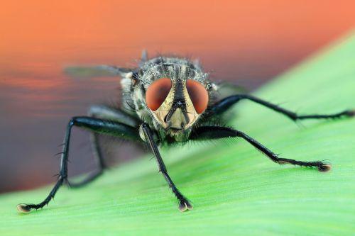 fly housefly macro