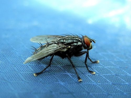 fly housefly must