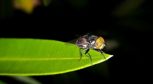 fly housefly insect