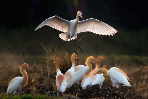 birds asian openbill vole