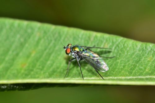 fly long legged fly insect