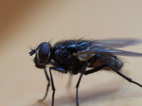skristi,vabzdys,makro,išsamiai,gamta,sparnai,makrofotografija,housefly,privalo