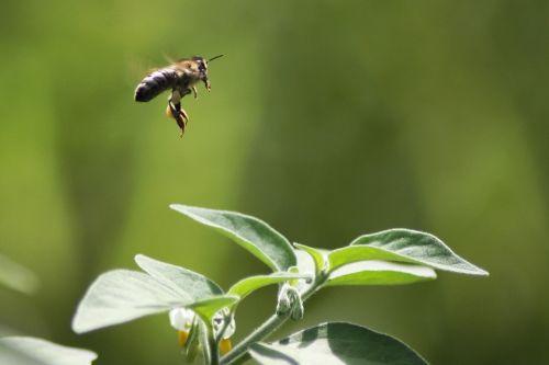 fly bee flower