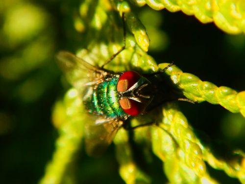 fly macro green