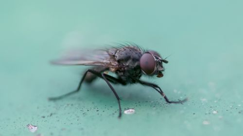 fly,macro,insect,nature,close,animal,compound eyes,flight insect,insect macro,animal world,housefly,hairy,hoverfly,public record,wing,macro photo