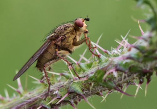 skristi,vabzdys,gamta,makro,Uždaryti,šerti,dygliuotas,augalas,žalias,gyvūnas,fauna,paskatinti,erškėčių,makro nuotrauka,vabzdžių makro,gyvūnai