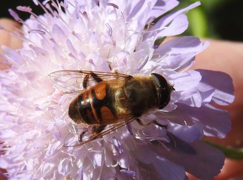 skristi,gamta,vabzdys,gyvūnų pasaulis,makro,skrydžio vabzdys,gėlė,vabzdžių makro,gėlės,sparnas,sodas,augalas