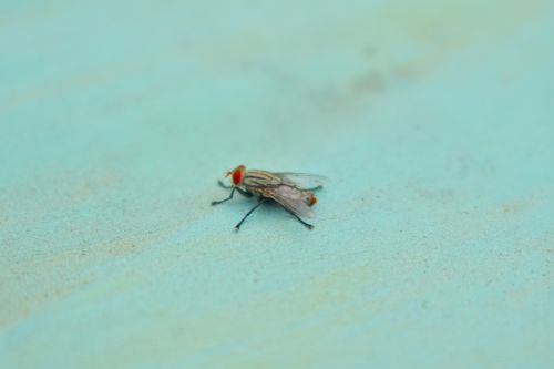 fly red eye insect