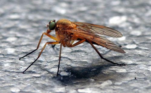 skristi,housefly,makro,vabzdys,Uždaryti,jungtinės akys,gamta,vabzdžių makro