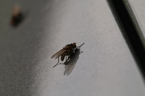 fly macro insect